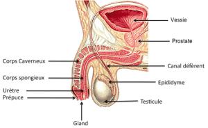 anatomie-appareil-genital-male